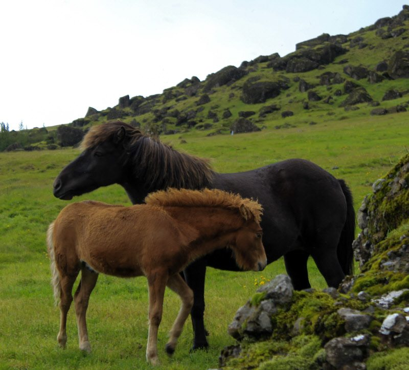 A family of horses in Iceland. The desolate landscape ensures the horses are tough, stout and well dressed!