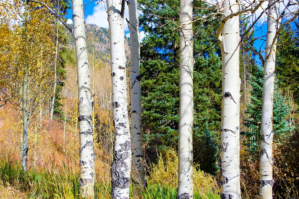 aspen color autumn fall landscape forest colorful yellow tree rocky mountain scenery travel wilderness outdoors colorado mountains aspen aspen aspen aspen aspen tree